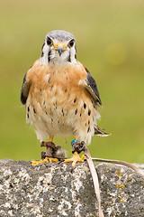 American Kestrel (K Griffiths) Tags: uk england bird cornwall may falcon americankestrel falconry 2010 kernow falcosparverius canon70200mmf4lusm canoneos5d winnardsperch cornishbirdsofpreycentre