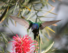 Beija-flor Tesoura (Eupetomena macroura) - Swallow-tailed Hummingbird 23 05-06-07 012 - 9 (Flvio Cruvinel Brando) Tags: brazil naturaleza color bird nature colors birds animal animals braslia brasil cores flying colorful hummingbird close bokeh natureza flight passarinho pssaro aves ave urbannature brazilian hummingbirds pajaro animais cor pssaros brasileiro beijaflor flvio tesoura vo birdwatcher colibri colorida voando colorido picaflor swallowtailed macroura beijaflortesoura colibris featheryfriday birdphoto eupetomenamacroura beijaflores picaflores animaladdiction swallowtailedhummingbird flviocruvinelbrando eupetomena naturewatcher bfgreatesthits salveanatureza planetaterraeseusanimaisincrveis