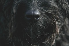 Tommy 054 (Amigrante Nnimo) Tags: dog chien cane fur hond tommy perro hund pelo badbreath peludo elmejoramigodelhombre malaliento muchopelo elmejoramigodestehombre