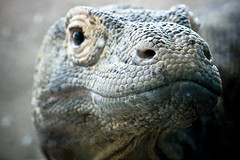 Komodo Dragon (tappit_01) Tags: portrait smile animal animals zoo dragon reptile lizard komodo komododragon amazinganimal