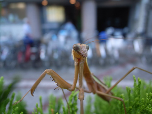 preying mantis on hedge in a urban setting