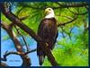 JER_3215 (Ol-Jerr) Tags: nikon eagle d200 600mm piratetreasure flickrdiamond naturewatcher adoublefave piratetreasure2
