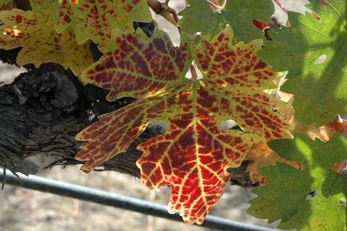 Grape Leaf Changing