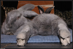 WHAT CAN I SAY.... (Jan2eke) Tags: pet pets cute rabbit bunny bunnies nikon joy d70s relaxing adorable chilling rabbits furryfriday joris bigfeet