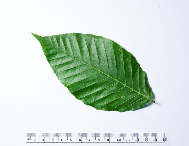 H203-Fagus grandifolia-100622-2