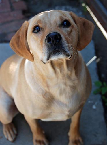Golden Labrador Retriever (Cooper)