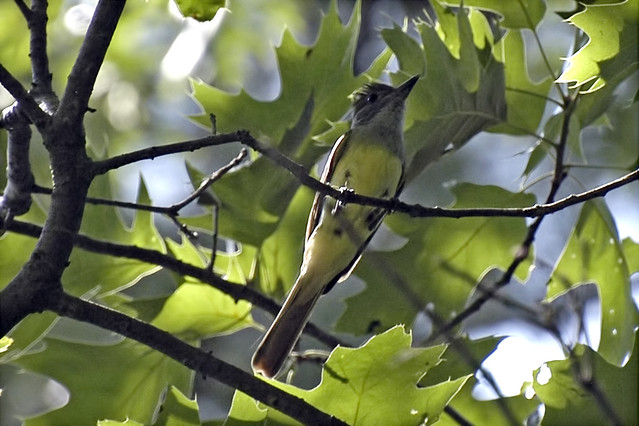 great crested flycatcher 4