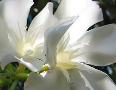 Angel Light - Oleander Flower -repost per request (irinsmith) Tags: white macro phoenix angels elegant oleander cy whiteflowers cancerresearch arizonaflowers challengeyouwinner cancercure impressedbeauty irinsmith superbmasterpiece poisonousflowers cotcbestof2007 arizonaoleanders anvizel mdandersonresearch