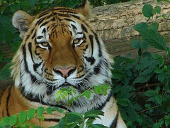 His name is Sen Ichi. (muzina_shanghai) Tags: animal zoo artistic tiger tigers tigre animalplanet  dierentuin tennojizoo hayvanatbahesi zoological  dragarur felidae  dyrehage giardinozoologico elintarha   llatkert  felinae  parczoologique ogrdzoologiczny    osakamunicipaltennojizoo avisittothezoo  zoolgic jardnzoolgico kebunbinatang zoolokivrt bustaniyawanyama zoologickzhrada  dieretuin itsazoooutthere   zoologijossodas flickrbigcats  zoologiaardeno  myzoology