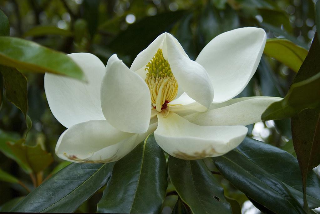magnolia ©2007 RosebudPenfold