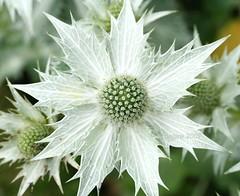 Eryngium giganteum (My 5th Explore) (_nejire_) Tags: white flower macro interestingness flora scout explore eryngium naturesfinest chelseaphysicgarden 50faves nejire abigfave fave10 impressedbeauty aplusphoto fave30 theperfectphotographer fave50 mhashi fave35 fave25 fave40 fave45