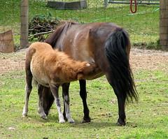 """One Horse, Two Horse (Newleaf) Tags: horse foal followup miniaturehorses mammal msh090713 scavengerhunt msh0907 copyright©2008melindaseylerallrightsreservednoprintingorreproductionwithoutwrittenpermission myworkdoesnotbelongtothepublicdomain copyright©2009melindaseylerallrightsreservednoprintingorreproductionwithoutwrittenpermission ireservetherighttopursueunauthorizedusersofthisimageorclip ifyouviolatemyintellectualpropertyyoumaybeliableforactualdamageslossofincomeandprofitsyouderivefromtheuseofthisimageorclipandwhereappropriatethecostsofcollectionandorstatutorydamagesupto150000canadiand """"allrightsreserved©copyright"""