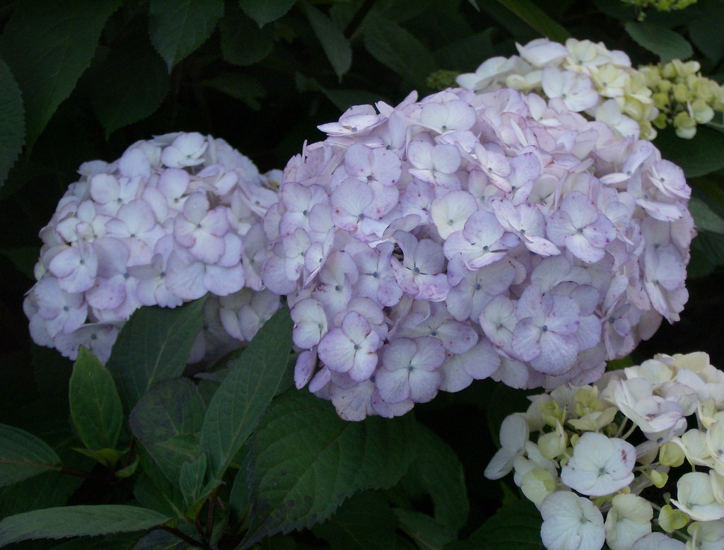The Worlds Best Photos Of Hortensia And Hortensja Flickr Hive Mind