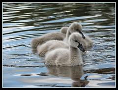 We aren't ugly yet!  We'll be black swans some day. (Shortshooter - Al) Tags: swans picnik cygnets waterbirds blackswans naturesfinest bigmomma blueribbonwinner avianexcellence beautifulworldchallenges herowinner