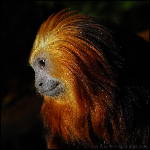 Golden-Headed Lion Tamarin