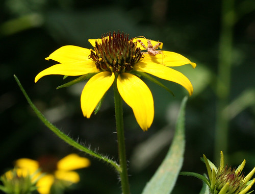 Odd insect (Family Reduviidae - Assassin Bug) on thin-leaved coneflower, Rudbeckia triloba