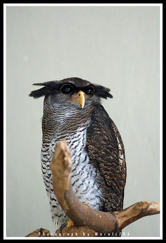 Burung Hantu by maruli786.