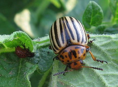 Colorado Potato Beetle - by Anita363