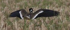 red whattled lap wing taking off (anujm) Tags: lapwing rede wattled redwattledlapwinglanding