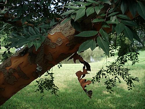 elm tree bark. elm tree peeling ark