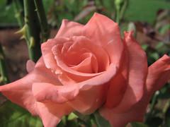Elina's Rose