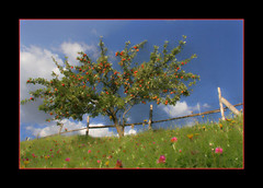 Apple tree in September (regina_austria) Tags: autumn sterreich apple nature austria bravo searchthebest herbst loveit baum apfel breathtaking appletree apfelbaum takeabow goldendreams themoulinrouge naturesfinest blueribbonwinner 35faves goldenmix naturesgallery mywinners anawesomeshot aplusphoto goldenphotographer diamondclassphotographer flickrdiamond ysplix excellentphotographerawards onlythebestare reginaaustria naturewatcher wonderfulworldmix excapture flickrslegend thegoldenmermaid theperfectphotographer thegardenofzen thegoldendreams flickrunitedaward