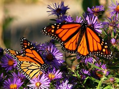 Monarchs Among Asters (squatchman) Tags: flowers orange macro nature wisconsin outdoors purple butterflies insects bugs lepidoptera urbannature wildflowers monarchs naturesfinest flyinginsects milwaukeewisconsin thenatureconservancy flowerscolors insectsandspiders insectsspiders flowerswithinsects flowerphotography specnature wunderground insectsonflowers anythingnature allthingsbeautifulinnature 10millionphotos insectphotography itsabeautifullife butterflycolor beautifulbutterflies butterflybeauty superbmasterpiece flowerpicturesnolimits amateurmacros macrophotosnolimits flickrinsects butterflygallery butterfliesofwisconsin beautyintheheartland
