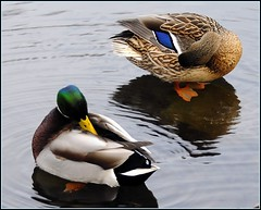 """The Mating Habits of Mallards"" (3 of 3) (Tony Fischer Photography) Tags: usa bird nature us duck newjersey pond colorful wildlife nj ducks mallard anasplatyrhynchos mallards bergencounty risgefieldpark birdscolor mallarddrakeandduck"