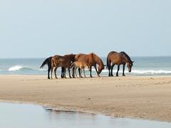 Wild Horses - 3b (Ian's Tata) Tags: horses hotels fredonia outerbanks wildhorses mustangs corollanc currituckcounty sunyfredonia spanishsettlers edwardswaterhouseinn ianstatacom fredoniaaccommodations bbsfredonia