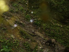 Takin (eMammal) Tags: takin wolong budorcastaxicolor geo:lon=30873 taxonomy:common=takin sequence:index=1 sequence:length=1 otherhoovedmammals taxonomy:group=otherhoovedmammals siwild:study=wolongcameratrapsurvey siwild:studyId=wolongbaitedsets geo:locality=china siwild:plot=wolong siwild:location=lwwl08811a siwild:camDeploy=chinadeploy194 geo:lat=103173 taxonomy:species=budorcastaxicolor siwild:date=200809281740000 siwild:trigger=wwl08811a01159 siwild:imageid=wwl08811a01159 sequence:id=wwl08811a01159 file:name=wwl08811a01159jpg sequence:key=1 file:path=dchinachinacameraimagedigitalafter2008wolongnaturereservewwl08811a01wwl08811a01159jpg siwild:region=china BR:batch=sla0620101119044543 siwild:species=12