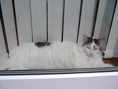 Snoozing in the window (Supernan) Tags: old cats white window sunshine cat furry feline tabby kitty sleepy kitties felines walshy snoozy