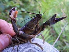 Crayfish Closeup by Hiker Man Photography