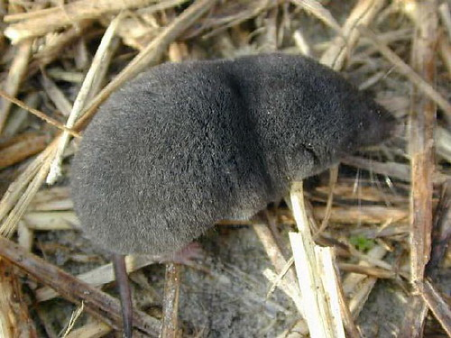Southern_short-tailed_shrew