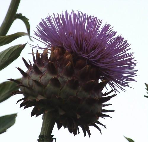 hindi botanical name cynarathyme after thyme cynara Blooms hathichuk