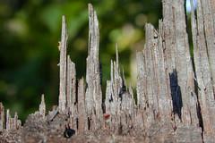Wooden City (Studio 950) Tags: wood macro tree nature virginia woods bokeh stump smallworld 950 nikoncoolpix studio950 citynikon