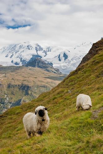 endless photos of sheep - 1