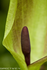 Lords n Ladies (Dreamflux Photography) Tags: uk plant flower macro nature closeup woodland spring cornwall wildlife may bloom spathe spadix lordsandladies torpoint arummaculatum sigma105mm