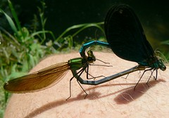 the romantic story of two damselflies, called Calopterix virgo or beautiful demoiselles, making love...on my knee (e) Tags: love nature animal insect ilovenature dragonfly leg ardennen ardennes mating knee damselfly coupling dinant insecte damselflies calopteryx odonata makelovenotwar insecta libel zygoptera naturepix juffer vandaag calopterygidae beautifuldemoiselle calopteryxvirgo downbytheriver odonate expl montaigle bosbeekjuffer flavion ardennenoffensief opmijnknienog flavionriver makedamselflybabysnotwar itallhappenedonwoundedknee einhalbesgeslechtsverkehr