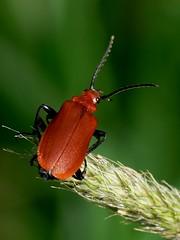 Pyrochroa serraticornis (Walwyn) Tags: insect beetle warwickshire coleoptera pyrochroidae pyrochroa pyrochroaserraticornis walwyn draycotemeadows taxonomy:binomial=pyrochroaserraticornis profmoriartydotcom:book=75 profmoriartydotcom:book=187 profmoriartydotcom:book=185 profmoriartydotcom:book=184