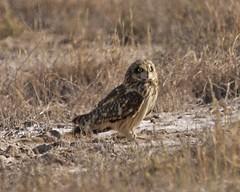 Short-eared Owl (Asio flammeus) (Lip Kee) Tags: bird aves wildlifenature shortearedowl asioflammeus corujadonabal sumpfohreule marshowl búhocampestre hiboudesmarais commonmarshowl meadowowl velduil コミミズク gufodipalude strixflammea