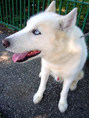 Sky (ggnyc) Tags: nyc newyorkcity sky rescue dog blueeyes queens siberianhusky adopt huskyrescue availableforadoption huskyhouse isabellawhite