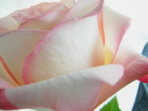 pink rose — July 9
