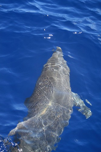 Bottlenose in Blue Hawaiian Waters
