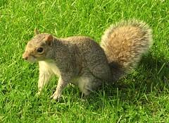 Aw, Nuts...... (quicksilver5001) Tags: nature animals botanical scotland squirrel edinburgh mammals botanicalgardens edinburghbotanicalgarden