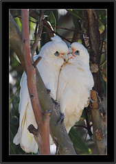 Little Corellas-a cosy moment. (Barbara J H) Tags: nature birds fauna wildlife australia qld australianbirds australianwildlife picnicpoint maroochydore littlecorella cacatuasanguinea corellas birdsofaustralia supershot australianfauna canoneos30d birdphotos australiannativebirds wildlifeofaustralia barbarajh faunaofaustralia