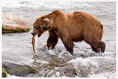 Mouthful (Thi) Tags: bear park brown fall water waterfall salmon national grizzly brooks brownbear salmonrun grizzlybear brooksfalls katmai katmainationalpark