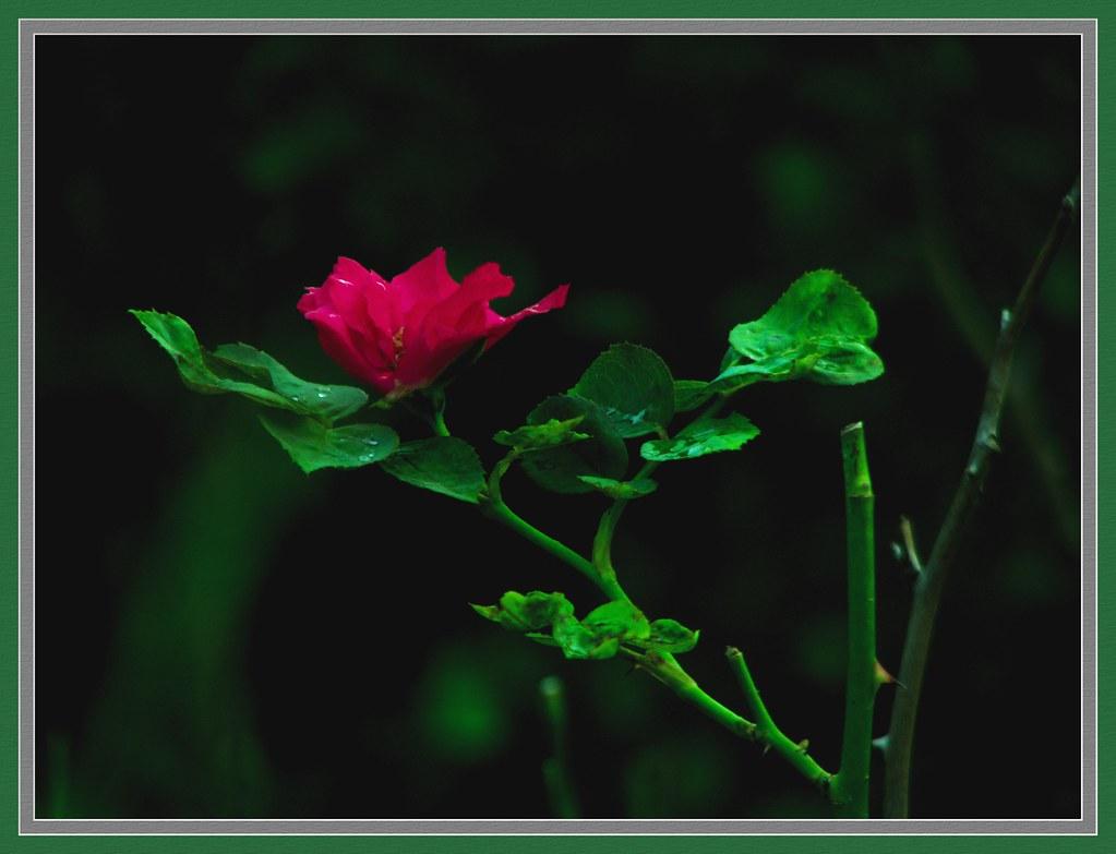 Garden Nature - China Rose