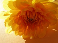 Chrysanthemum (✿ Graça Vargas ✿) Tags: flower yellow explore chrysanthemum lightshadow excellence crisântemo interestingness80 graçavargas ©2007graçavargasallrightsreserved 101819271209