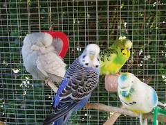 Major, Rocki and Jango (Chris....) Tags: bird budgie eneerc