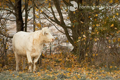 (Farm Sanctuary) Tags: saved autumn cow vegan memorial frost animalrights pasture veganism animalwelfare farmsanctuary cincinnatifreedom newyorkshelter